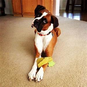 boxer dog head-tilt | Boxer babies | Pinterest