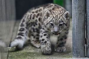 PHOTOS: Zoo's baby snow leopard makes public debut ...