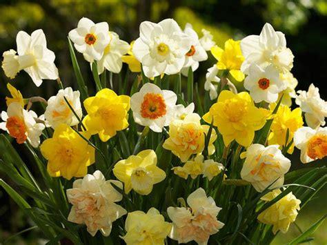narcissi daffodils
