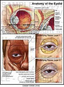 Anatomy Of The Eyelid Medical Illustration Medivisuals