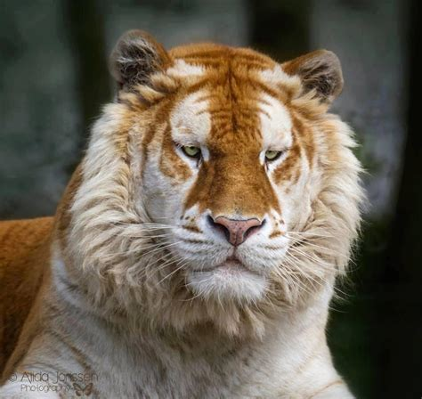 Rare Golden Tabby Tiger Pics