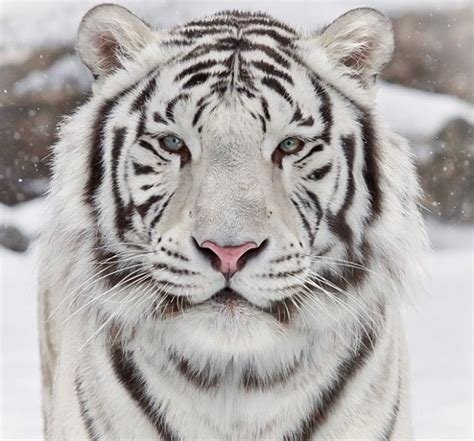 Best Images About The Majestic Tiger Pinterest