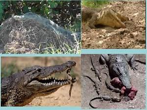 Crocodiles Farming And Importance