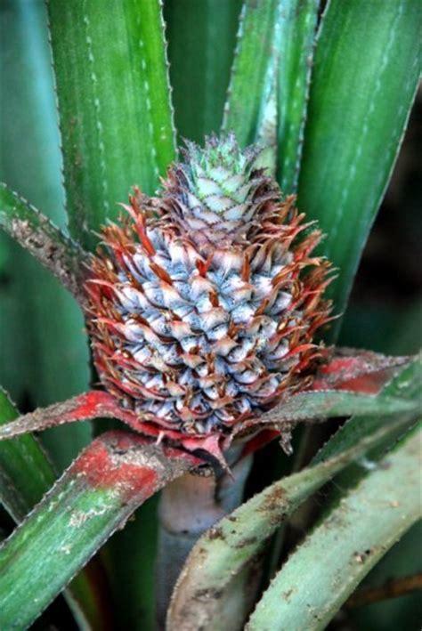 Bromeliad Fruit Photo