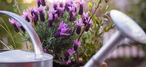 Lavendel Pflege  Dr Schweikart