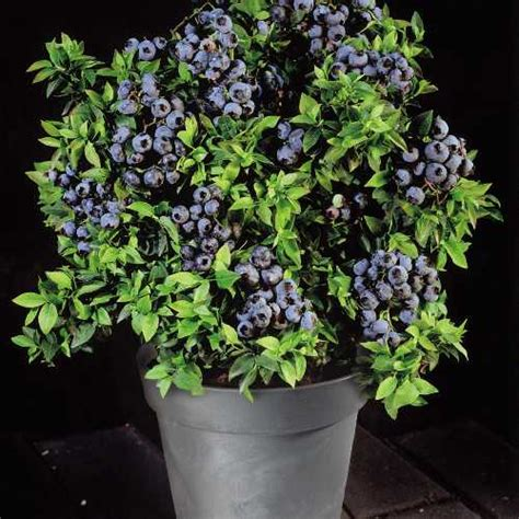 blueberry bush in pot how to plant blueberry bush in container