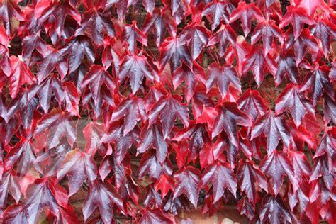 Buy Boston Ivy Parthenocissus Tricuspidata 'veitchii