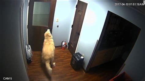 houdini dog caught  camera opening  doors