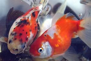 Koi De 9 En Israel : koi japonais koi israel esturgeons poissons rouges voile de chine poisson eco etc ~ Medecine-chirurgie-esthetiques.com Avis de Voitures