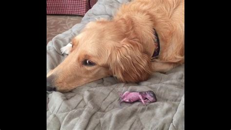 Ginger The Golden Retriever Is In The Process Of Adopting