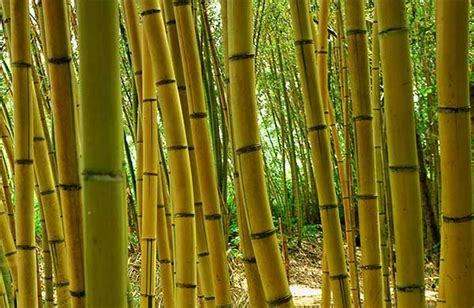 pohon bambu makin tinggi pohon bambu  makin