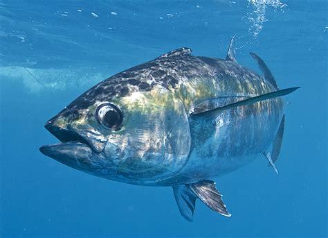 tuna fish blackfin tuna basics florida sportsman