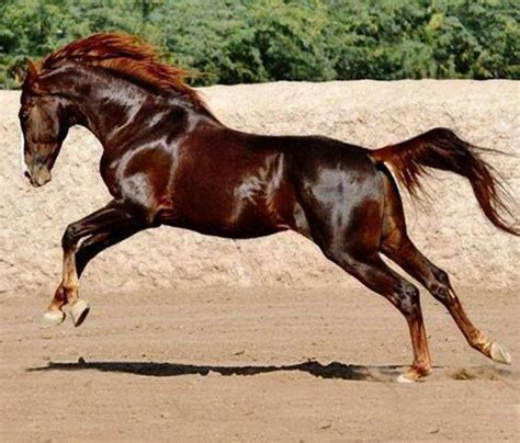 horse horses marwari chestnut liver stallion dark gorgeous arabian animals pretty colour most manu sharma beauty colors wild pony majestic