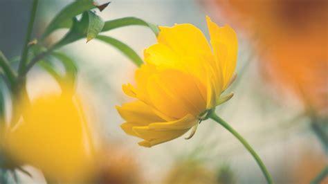 Wallpaper Of Hd Flower by Wallpaper Yellow Flower Beautiful Hd Flowers 1782