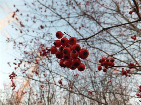 berries hawthorn roadside washington edible eating berry field notes they