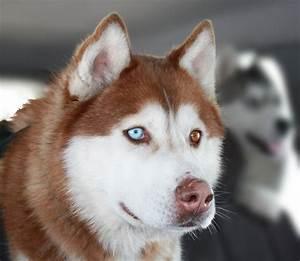cachorros husky siberiano pedigree internacional pura sangre
