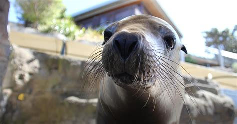 seal taronga zoo