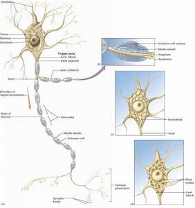 Structure Of A Neuron - Physiology