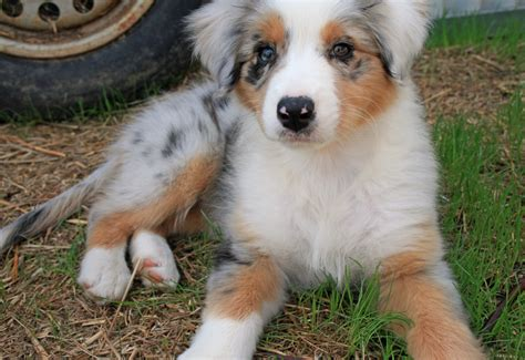 australian retriever australian shepherd golden retriever
