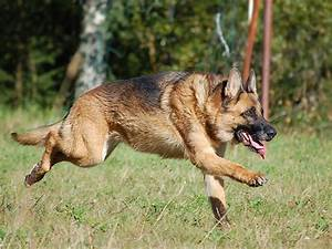 German Shepherd Dog HD Wallpapers 2013 ~ All About HD ...