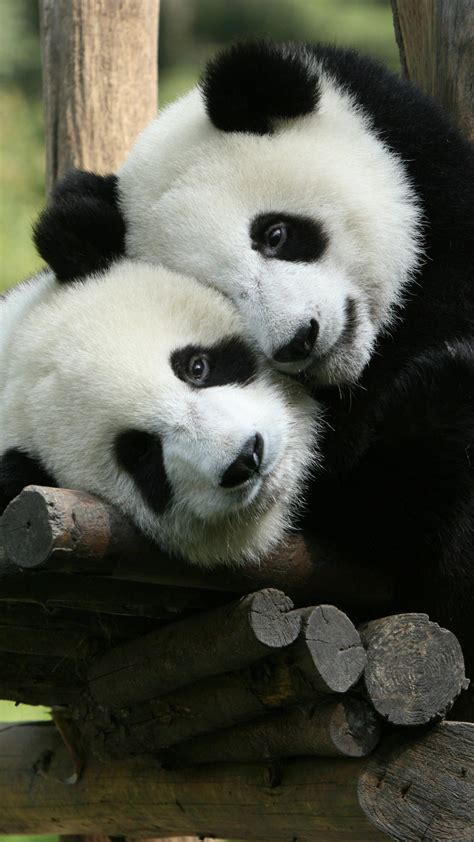 panda cute animals giant china zoo wallpapers wild