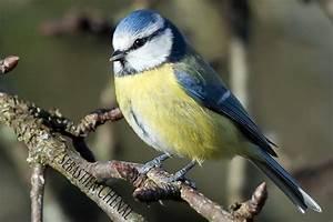 Oiseau Jaune Et Bleu : m sange bleue m sange charboni re verdier gros bec blog de les photos de seb ~ Melissatoandfro.com Idées de Décoration