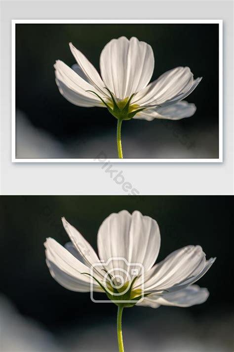 เลือกโฟกัสดอกคอสมอสสีขาวสวยงามเบ่งบานในสวน | การถ่ายภาพ ...