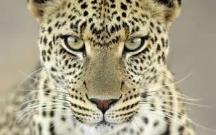 jaguar cat jaguar animal cats jaguar nature 153304