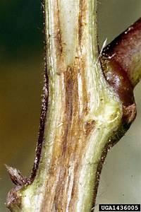 Fusarium Wilt Of Cotton  Fusarium Oxysporum F Sp
