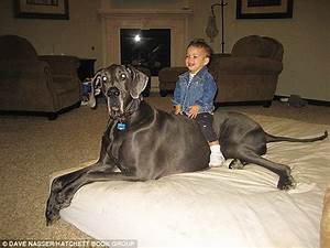 Giant George: The 7-Foot-Tall Great Dane Photos and New ...