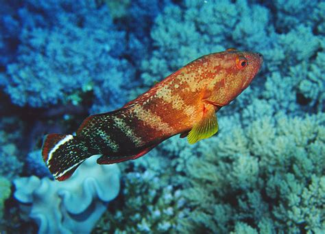 grouper flagtail saltwater fish reef2reef cephalopholis