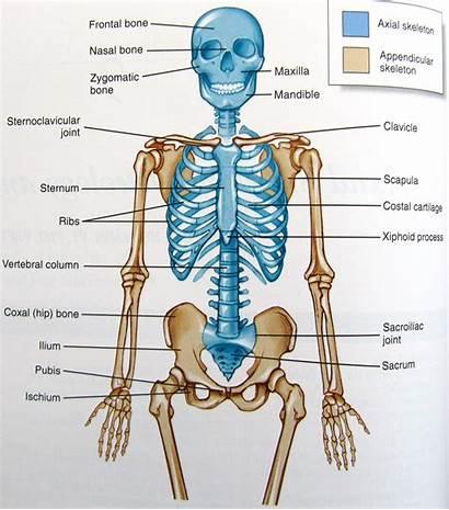 Anatomy Human Skeleton Organs Diagram Diagrams