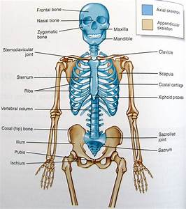 Diagram Of Human Organs 3d And Skeleton Anatomy