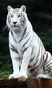 25 Best White Tiger Photographic - #Photographic #tiger # ...
