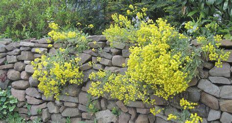 pflanzen für steinmauer welche pflanzen wachsen in einer trockenmauer phlora de