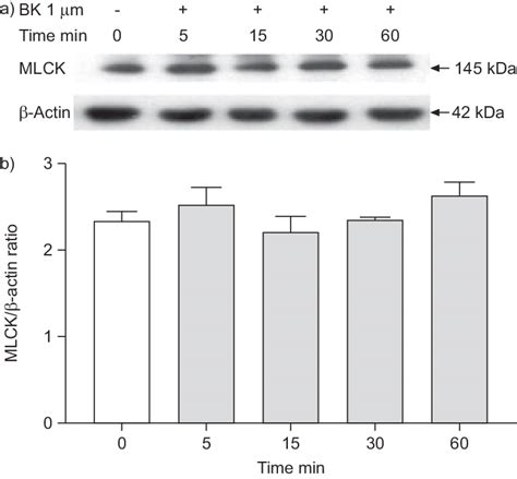 Myosin Light Chain Kinase by Effect Of Bradykinin Bk On Myosin Light Chain Kinase