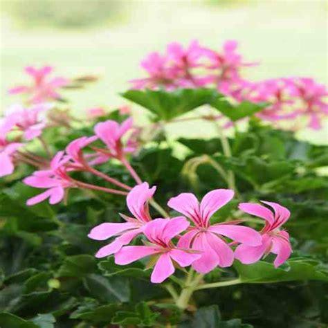 geranium indoors growing scented geraniums indoors gardening mother earth living