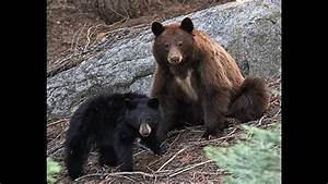 Black Bears Playing At Sequoia National Park