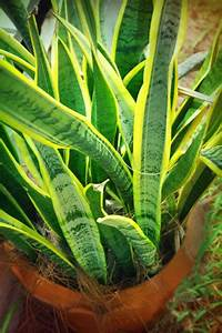 Zimmerpflanze Lange Grüne Blätter : die beliebtesten pflegeleichten zimmerpflanzen ~ Markanthonyermac.com Haus und Dekorationen