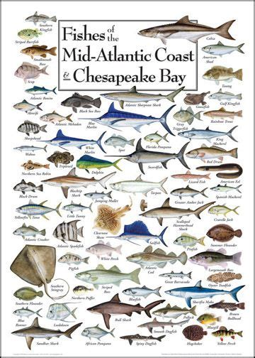 fishes   mid atlantic coast chesapeake bay pause