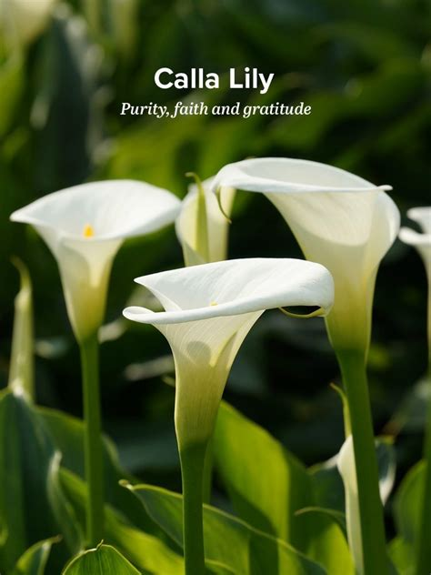 what do calla lilies history and meaning of calla lilies proflowers blog