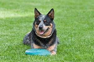 Truly Interesting Facts about Australian Cattle Dogs (Blue ...