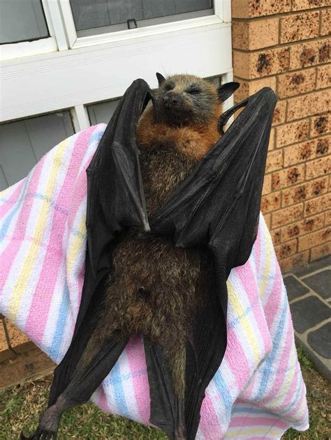 Volpe Volante Malese It S So In Australia That Bats Brains Are Frying