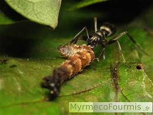 Insecte Qui Mange Le Bois : quel insecte mange les fourmis ~ Farleysfitness.com Idées de Décoration