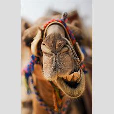 Die Besten 25+ Kamel Ideen Auf Pinterest  Kamele, Gefühl