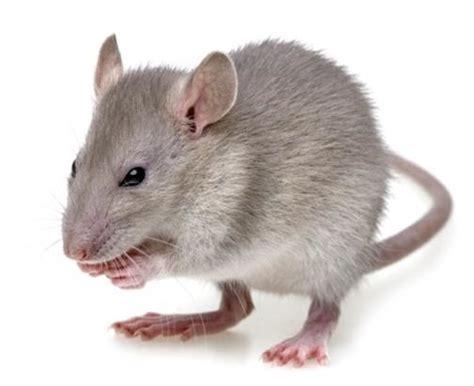 rid  rodents portland exterminator