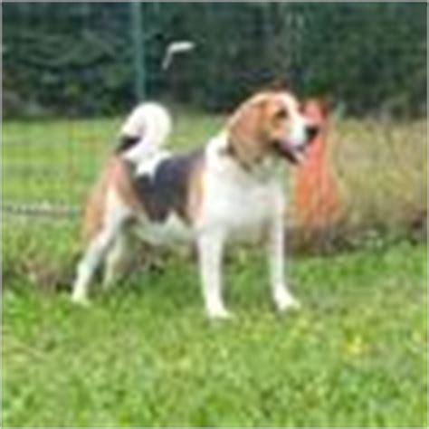 beagle chien et chiot wamiz