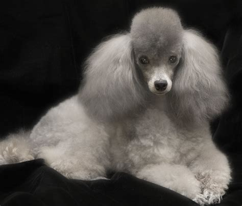silver toy poodle flickr photo sharing