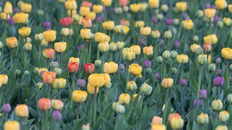 tulip fest bing wallpaper