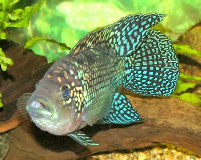 cichlids fish guides  african south american dwarf